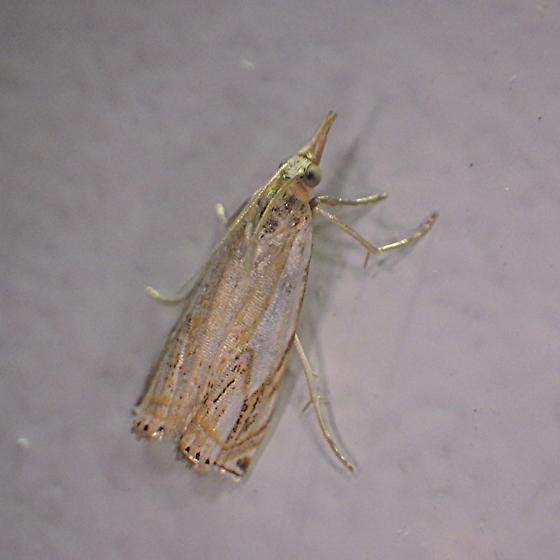 Grass-Veneer Moth - Crambus