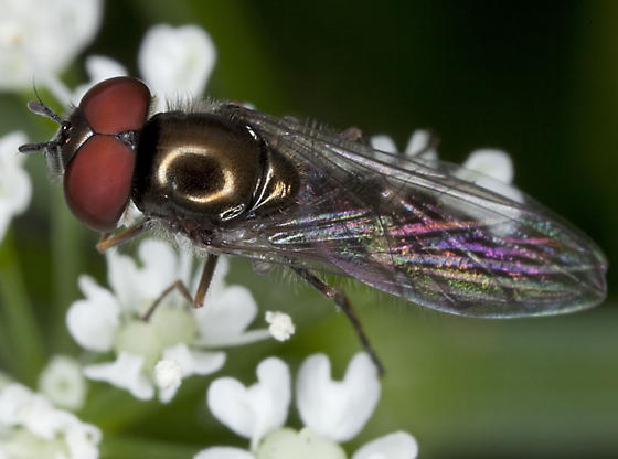 Fly IMG_1591 - Platycheirus - male