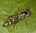 Petiolate syrphid - Dioprosopa clavata - female