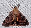 Catocaline Dart Moth - Cryptocala acadiensis