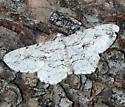 Moth ID Request - Iridopsis defectaria