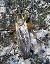 Fly - Platypalpus
