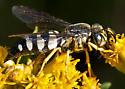 Sand Wasp - Bicyrtes quadrifasciatus