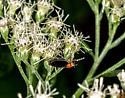 Sweet Potato Weevil? - Dilophus