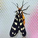 Ranchman's tiger moth - Platyprepia virginalis - female