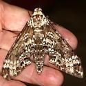 Rustic Sphinx Moth? - Manduca rustica