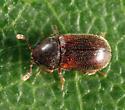 Cryptic Slime Mold Beetle - Sphindus americanus