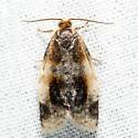 Black-patched Clepsis - Clepsis melaleucanus