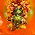 Augochlorella species? - Augochlorella pomoniella - female