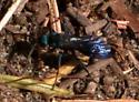 Steel-blue Cricket Hunter OR Blue-black Spider Wasp? - Evagetes
