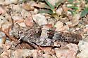 Pallid-winged Grasshopper - Trimerotropis pallidipennis - female