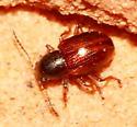 Beetle - Metachroma longicolle