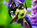 common eastern bumble bee - Bombus vagans