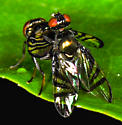 Mating Rivellia sp - Rivellia - male - female