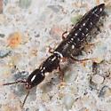 Rove Beetle Perhaps ? - Xantholinus linearis