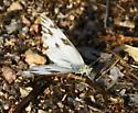 White butterfly with brown markings - Pontia protodice