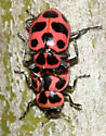 mating Spotted Lady beetle - Coleomegilla maculata