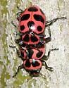 mating Spotted Lady beetle - Coleomegilla maculata