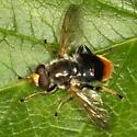 Fly - Blera analis - male