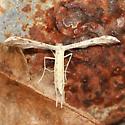 Belfrage's Plume Moth - Hodges#6154 - Dorsal - Pselnophorus belfragei