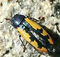 Bright metallic beetle. What kind? - Buprestis viridisuturalis
