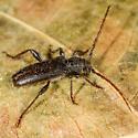 Unknown Beetle - Semanotus litigiosus
