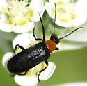 Look-alike for Batyle ignicollis - Gnathium francilloni