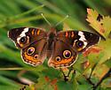 Buckeye - Junonia coenia - male