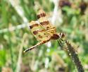 dragonfly? - Celithemis eponina
