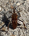 unknown, seen 22 Mar 2021 - Leptoglossus occidentalis