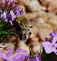 bumble bee mimic? - Anthophora - female