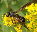 Potter wasp - Ancistrocerus antilope - female