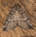 Moth - Carptima hydriomenata