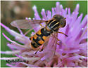Syrphid Fly - Lejops lineatus - male