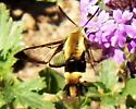 Snowberry Clearwing  - Hemaris diffinis