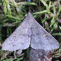 Speckled Renia Moth - Hodges#8386 - Dorsal - Renia adspergillus - male