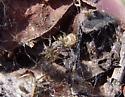 Spider - Anelosimus studiosus - male - female