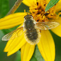 Bee Fly - Systoechus