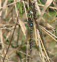 Turquoise-tipped Darner, Rhionaeschna psilus - Rhionaeschna psilus