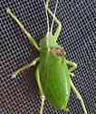 Green form of Red Katydid - Paracyrtophyllus robustus - male