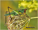Black-legged Meadow Katydid - Orchelimum nigripes - male