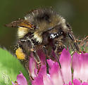 Bumble Bee? - Bombus flavifrons - female
