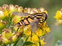 Yellow and black fly - Helophilus fasciatus - male