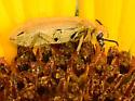 sunflower stinkbug - Epicauta ferruginea