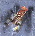 Chymomyza amoena