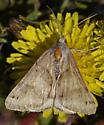 Moth 522A 5810 - Caenurgina