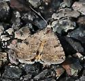 moth with bright orange underneath - Bulia