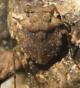 073112Bug1 - Gelastocoris oculatus