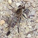 Robber fly by bog - Efferia albibarbis