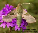 Terloo Sphinx Moth - Proserpinus terlooii